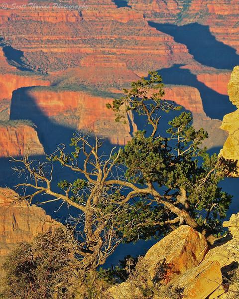 Pinyon Pine tree clings to life at Grand Canyon National Park in Arizona.