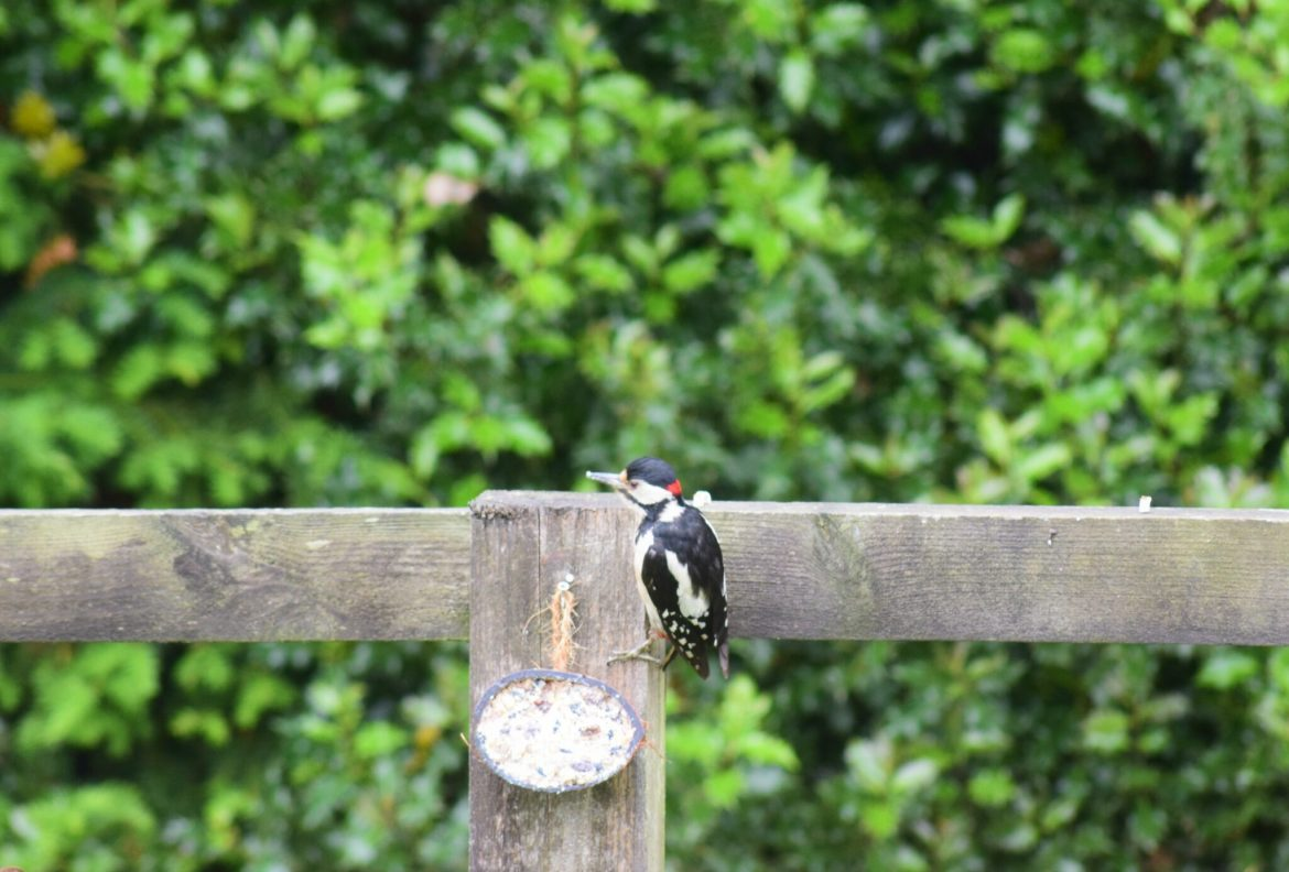 Woodpecker eating our suet cakes
