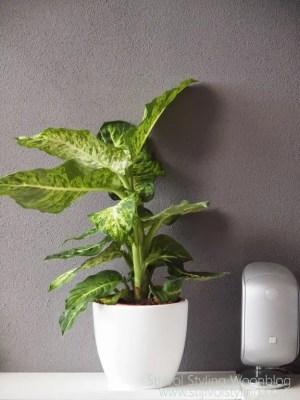 Interieur | Dieffenbachia = Woonplant van de Maand juli