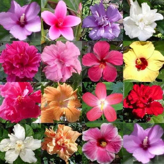 Buitenleven | Hibiscus = Tuinplant van de Maand juli - www.stijlvolstyling.com