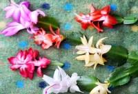 #Interieur   #Kerstcactus = #Woonplant van de #Maand #november - #wonen #groen #planten #bloemen #interieurblog #woonblog - www.stijlvolstyling.com