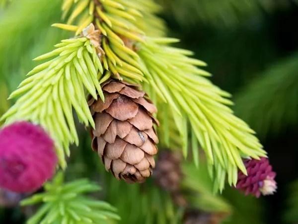 Tuinplant van de maand december - mini boompjes Picea abies