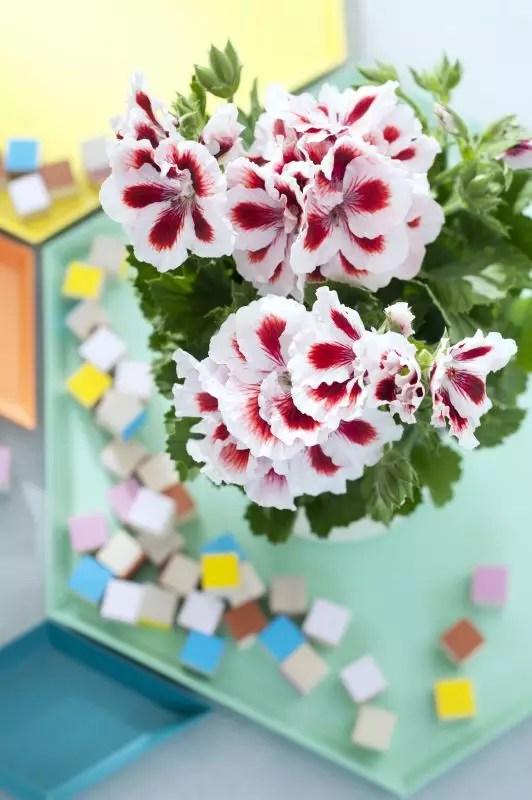 Franse geranium - woonplant van de maand maart - Stijlvol Styling woonblog www.stijlvolstyling.com