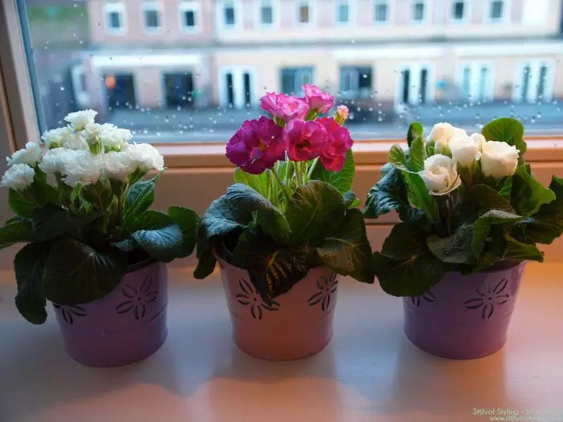 Primula-acaulis - woonplant van de maand - Stijlvol Styling Woonblog - www.stijlvolstyling.com