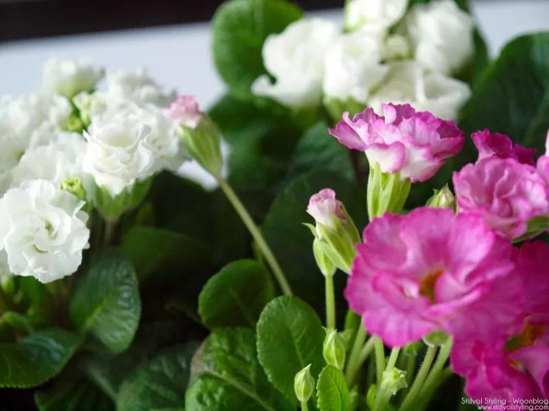 Primula - woonplant van de maand - Stijlvol Styling Woonblog - www.stijlvolstyling.com