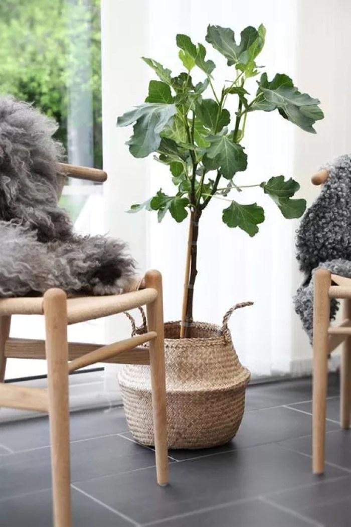 Groen wonen | De vijgenboom (vijg) in je interieur & tuin - Woonblog StijlvolStyling.com