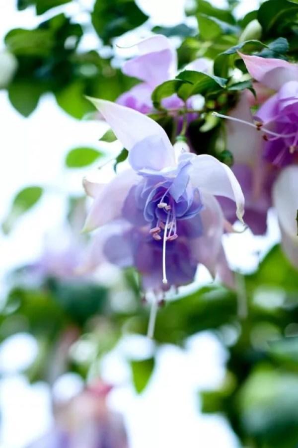 Buitenleven | Fuchsia = feestelijke Balkonplant van 2015 - Stijlvol Styling woonblog www.stijlvolstyling.com