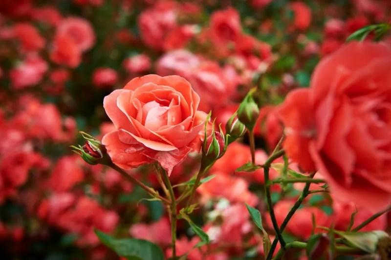 Buitenleven | Roos = Tuinplant v/d maand Mei