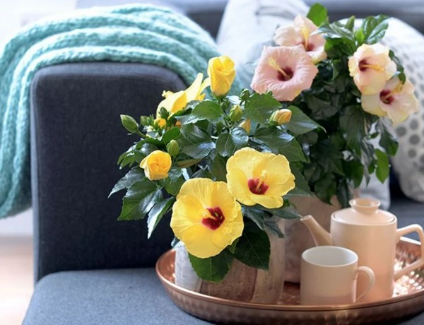Groen wonen | Chinese roos (Hibiscus) = Woonplant v/d Maand mei - Stijlvol-Styling-Woonblog -www.stijlvolstyling.com