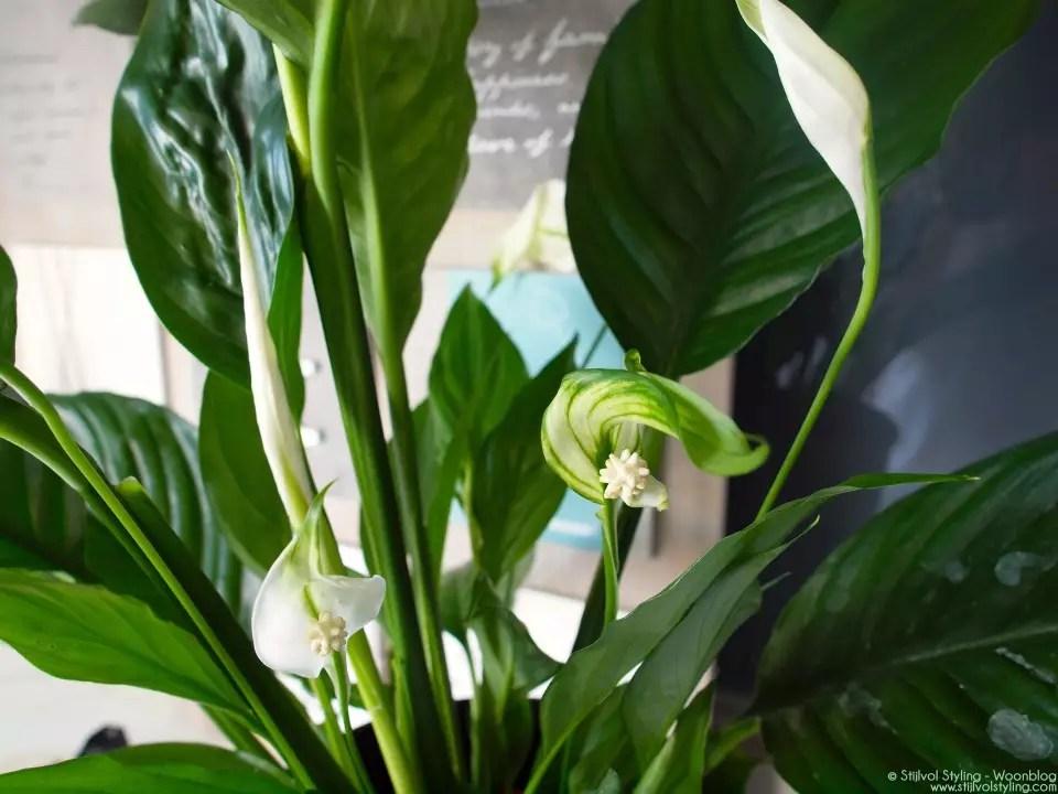 Groen wonen | Lepelplant = Woonplant vd Maand juni - Stijlvol Styling Woonblog - www.stijlvolstyling.com