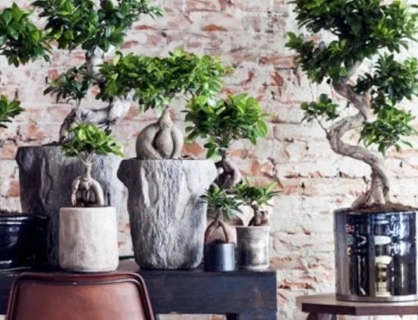Groen wonen | Ficus Ginseng = Woonplant vd maand juli - Stijlvol Styling woonblog www.stijlvolstyling.com