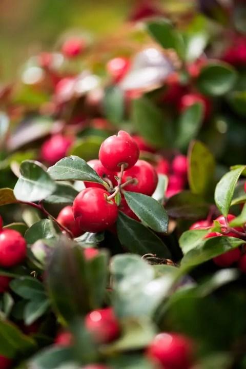 Buitenleven | Bergthee = Tuinplant vd Maand november | Woonblog StijlvolStyling.com