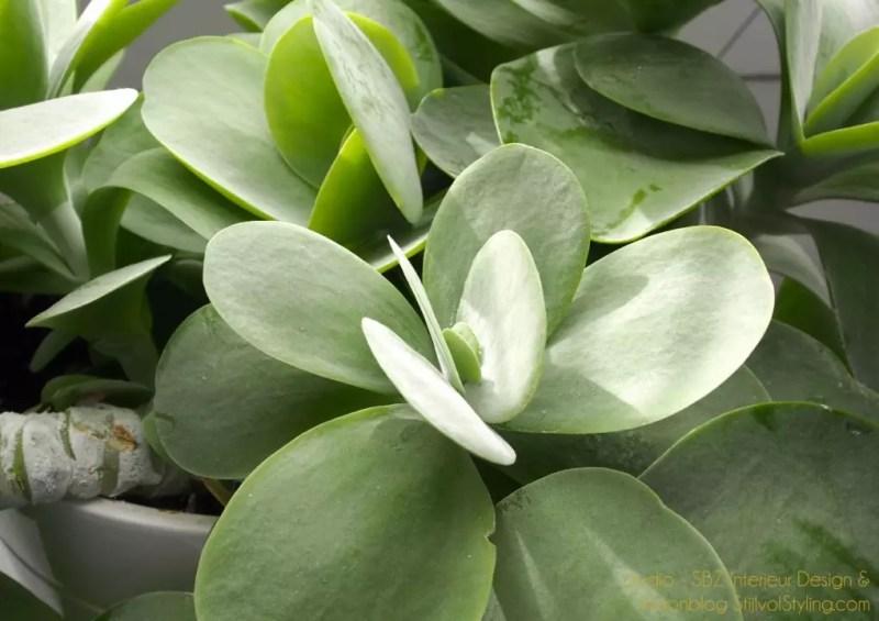 Kalanchoe thyrsiflora - Woonblog StijlvolStyling.com