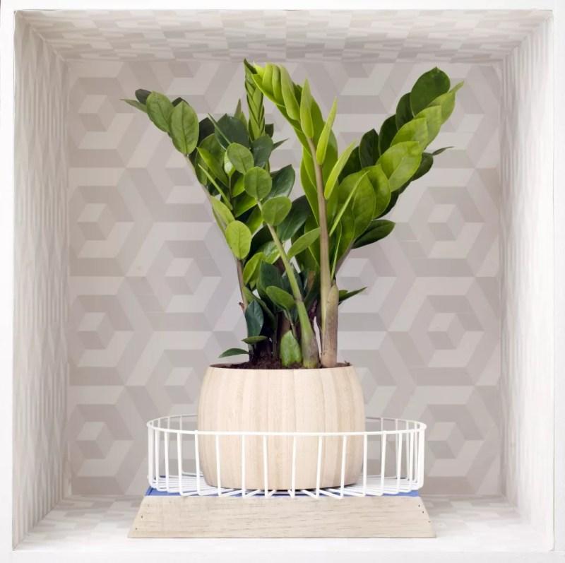 Groen wonen | Zamioculcas natuurlijke krachtpatser voor thuis - woonblog StijlvolStyling.com