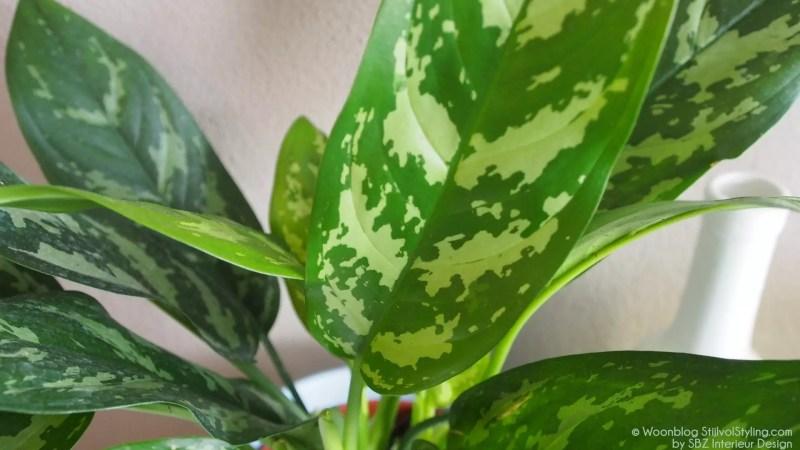Groen wonen | Aglaonema, makkelijke woonplant met lef! - Woonblog StijlvolStyling.com