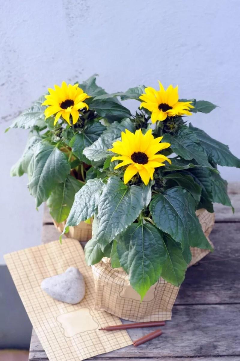 Buitenleven   Gegarandeerd zon in de tuin met de zonnebloem - Woonblog StijlvolStyling.com
