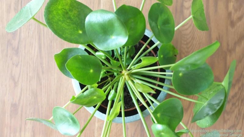Groen Wonen | Woonfavoriet! Pilea peperomiodes (Pannenkoekenplant)