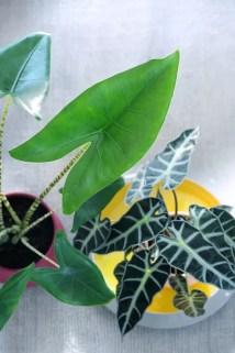Groen wonen   Alocasia - Retro Olifantsoor weer hip! - Woonblog StijlvolStyling.com