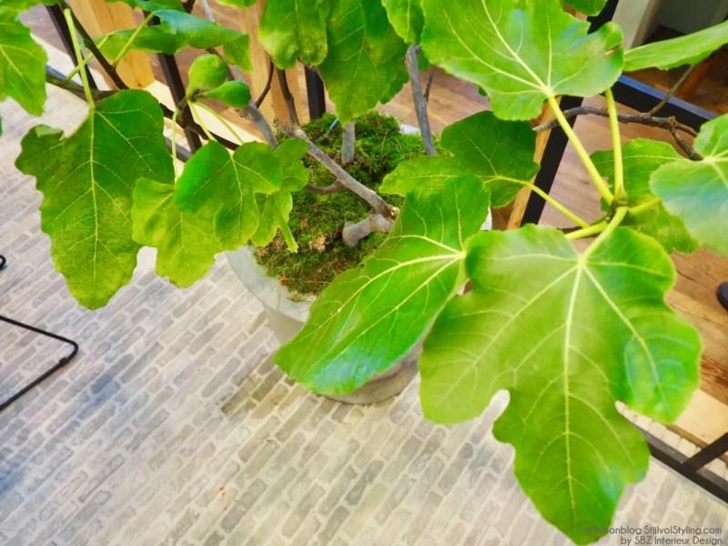 Groen wonen | De vijgenboom (vijg) in je interieur & tuin - © Woonblog StijlvolStyling.com
