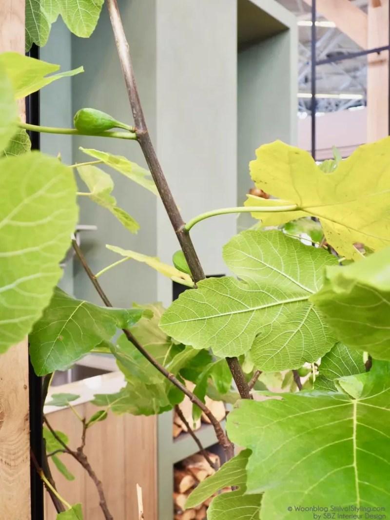 Groen wonen   De vijgenboom (vijg) in je interieur & tuin - © Woonblog StijlvolStyling.com