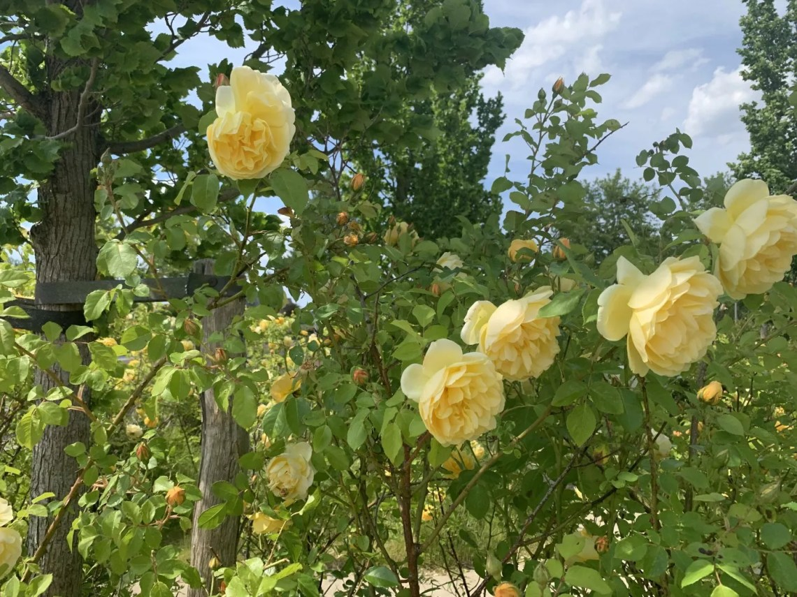 Tuin inspiratie | Geur in je tuin met rozen - © StijlvolStyling.com - sbzinterieurdesign.nl