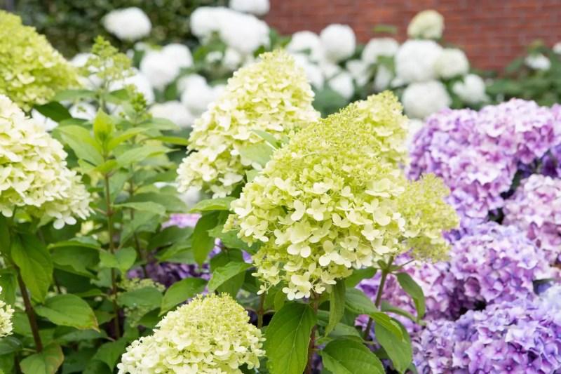 Nieuwe generatie tuinhortensia Bloeiend de zomer in - StijlvolStyling.com - Fotocredit: Hydrangeaworld
