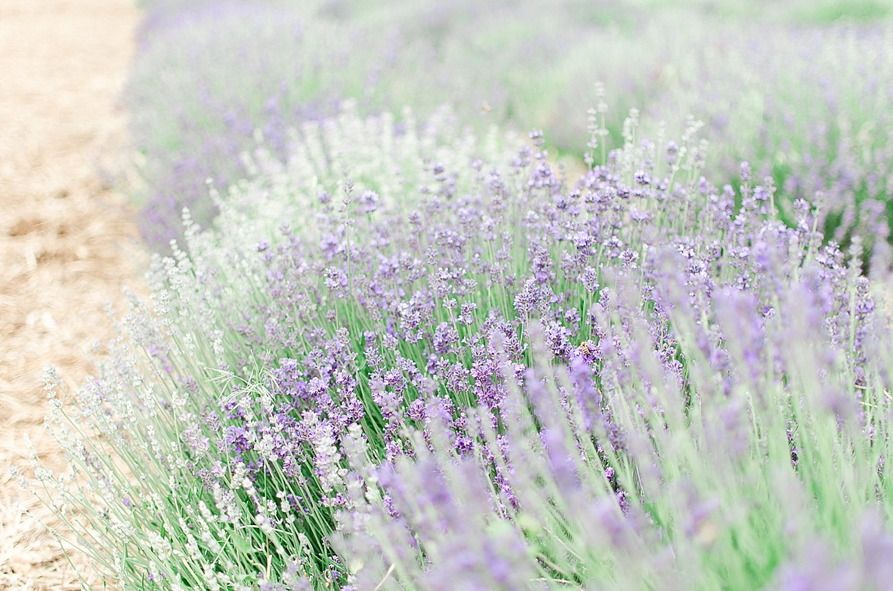 Young Living Lavender Farm, Mona, Utah (56)