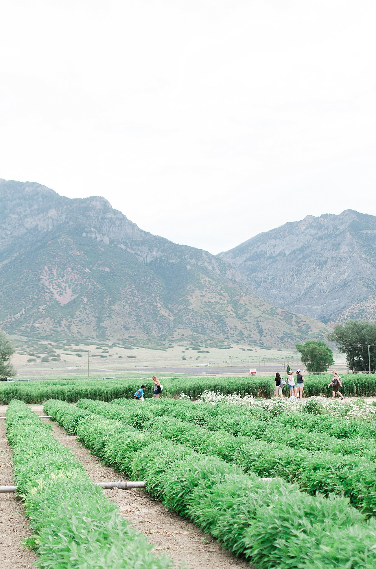 Young Living Lavender Farm, Mona, Utah (26)