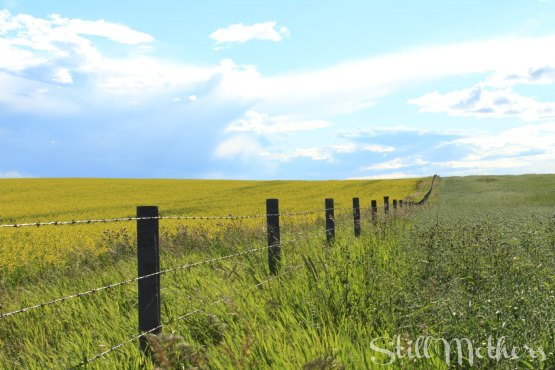 canola field with fence