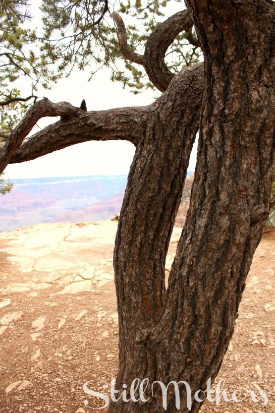 split tree at grand canyon