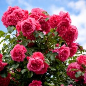 Rose Otto Essential Oil Bulgaria Stillpoint Aromatics