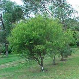 Tea Tree Lemon Essential Oil Stillpoint Aromatics