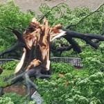 [사회] 한국 수원시 수령 530년된 나무 흉측하게 쓰러져. 나라의 큰 재앙 전조?