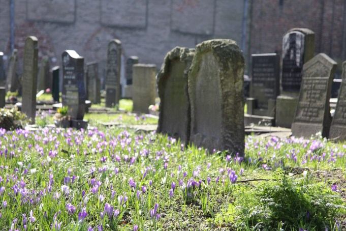 The Dutch Crocus colors this special place of silence, the St. Vitus churchyard in Stiens.