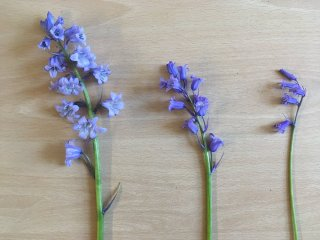 Tweet and photo by Kevin Walker (10 mei 2018) @BSBscience: 'Three bluebells on my walk into work today. From left to right- Spanish, hybrid and native non-scripta.' (Hyacinthoides hispanica), (Hyacinthoides x massartiana), (Hyacinthoides non-scripta).