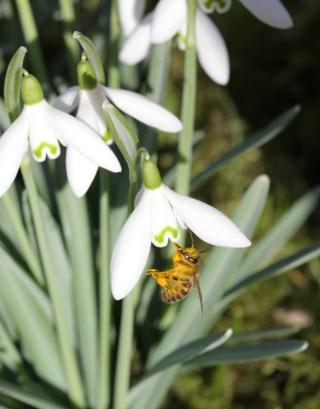 Bees enjoy themselves in Stinze Stiens garden.