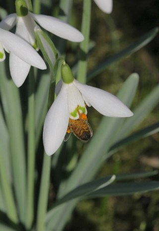 A bee disappears in the Snowdrop at Stinze Stiens.