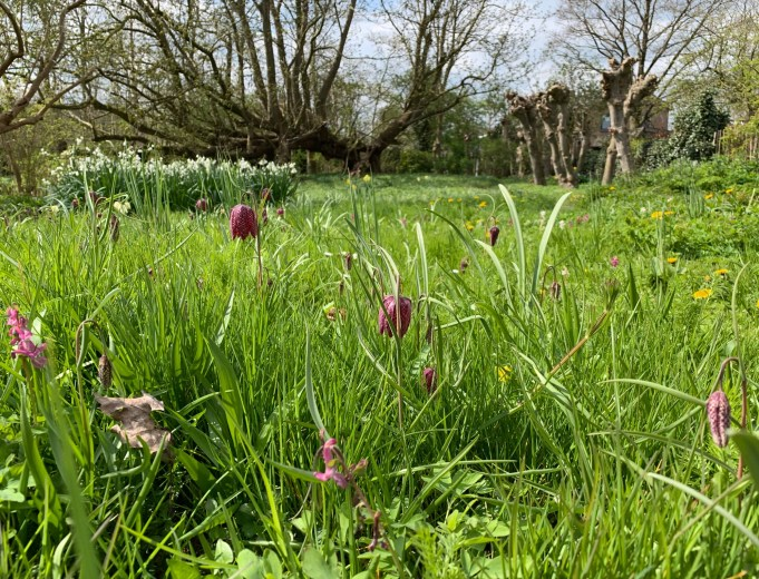Snake's Head Fritillaries and Summer Snowflake at Stinze Stiens.