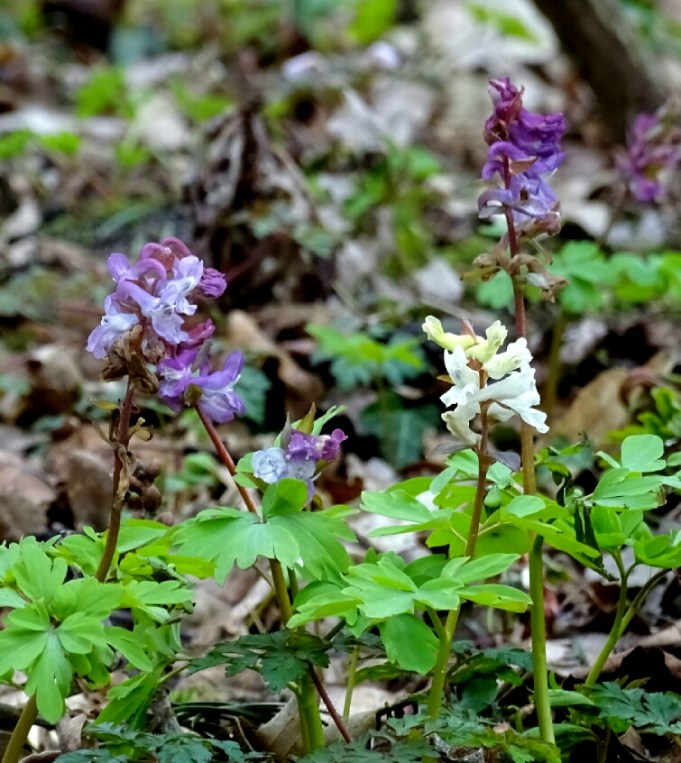White and purple flowers of the Bulbous Corydalis at Hackfort.
