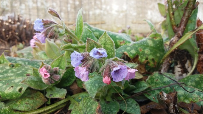 Flowering Common Lungwort near the wall at Dekema State: micro climate?