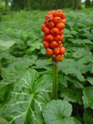 Italian Lords-and-Ladies, berries. Photo: It Fryske Gea.