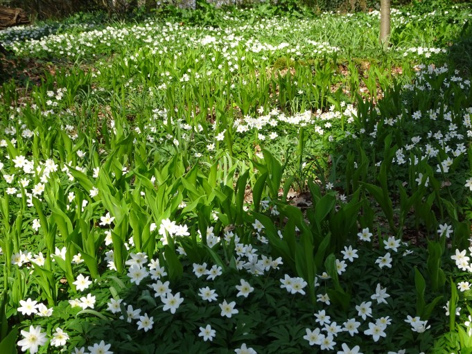Wood Anemones and Lilies-of-the-Valley at Hackfort.