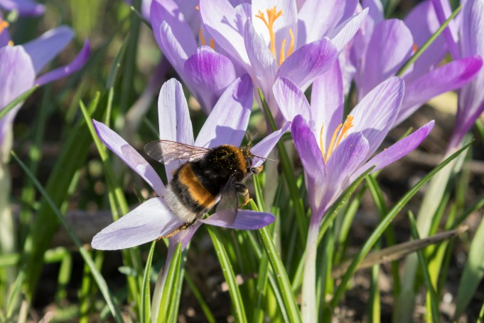 Dutch crocus and Buff-tailed bumble bee (Bumbus terrestris) at Martenastate.