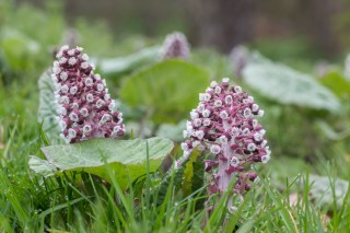 Next to the entrance road to park Martenastate the Butterbur starts flowering.