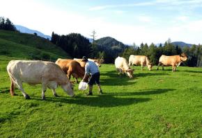 c)Efectivele din rasa montană Murboden  sunt crescute pentru carne și lapte