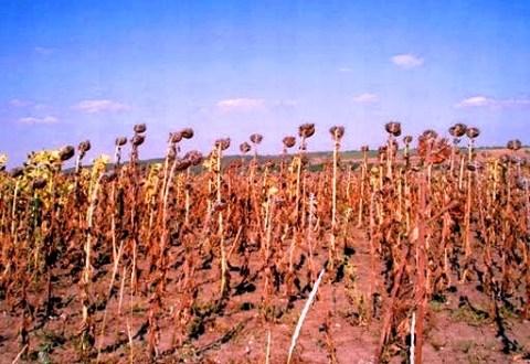 Culturile de porumb si floarea soarelui sunt mai expuse secetei decat cele de grau