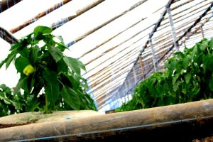 legume in sera