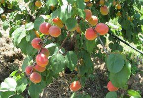 August este luna în care la Domeniile Ostrov se numără cireșele, caisele, nectarinele și piersicile.