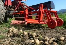 Preturile mici din 2012 i-au facut pe fermieri sa cultive suprafete mai mici cu cartofi in 2013