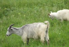 În luna august 2013, comparativ cu luna iulie 2013, numărul total de ovine şi caprine sacrificate şi greutatea lor în carcasă au crescut cu 7,9%, respectiv cu 14,7%. Tăierile în unităţile industriale specializate care au o pondere de 7,6% din totalul sacrificărilor de ovine şi caprine au scăzut cu 3,0%, iar greutatea acestora în carcasă a crescut cu 11,6%.